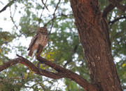 African barred owl (