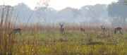 Red Lechwe, een zeld